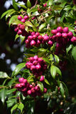 Purple fruit in clusters. Small globular purple fruit growing in clusters stock photography