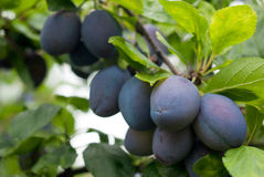 Purple fruits of a Stanley prune plum in orchard. Purple fruits of a Stanley prune plum ripen in the late summer sun on a tree in orchard Royalty Free Stock Image