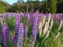 Purple full bloom lupine flower, New Zealand. Natural landscape background in summer season stock image