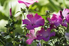Purple funnel-shaped flowers of royal mallows. Lavatera Royalty Free Stock Image