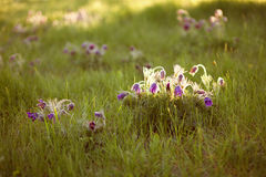 Purple furry flower in the rays of the setting sun Stock Photography