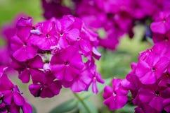 Purple gadren Phlox close up Royalty Free Stock Photos