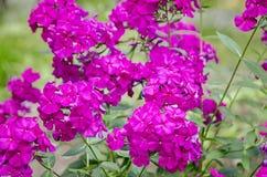 Purple gadren Phlox Stock Photo