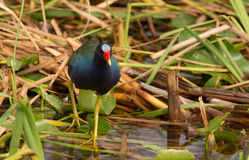 Purple Gallinule. Searching for food in the Florida Everglades at Everglades Holiday Park Stock Photography