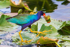 Purple Gallinule Royalty Free Stock Images