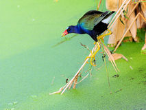 Purple Gallinule Bird. American Purple Gallinule, also called rail, in a South Florida wetland Royalty Free Stock Photo