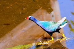Purple gallinule bird Stock Photos