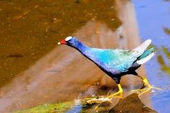 Purple gallinule bird Stock Photos