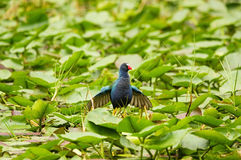 Purple Gallinule Bird Stock Image