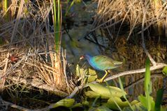 Purple Gallinule. The purple gallinule is a colorful bird found in tropical to semi tropical wetlands Stock Photography