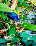 Up Close with a Purple Gallinule royalty free stock image