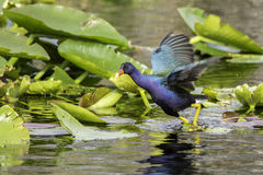 Purple Gallinule. In Florida Everglades National Park Stock Images