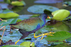 Purple Gallinule. Looking for food, Shark Valley, Everglades National Park Royalty Free Stock Images