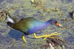 Purple Gallinule (Porphyrio martinica) Stock Photos