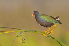 Purple Gallinule (Porphyrio martinicus) Stock Images
