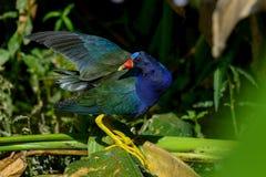 Purple gallinule Stock Images