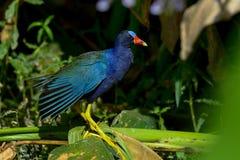 Purple gallinule Stock Photo