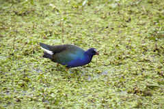 Purple Gallinule ( purphyrula martinica) royalty free stock photos