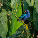 Purple Gallinule on the Reed. A purple gallinule posing on a reed in the swamp with green leaves in the background Royalty Free Stock Images