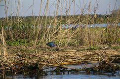A purple gallinule, a species of moorhen in one of the lagoons o stock photo