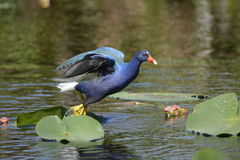 Purple Gallinule Taking Off. Purple Gallinule Porphyrio martinicus in the Everglades getting ready to fly showing dark blue and light blue coloring with white Stock Photography