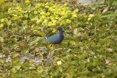 Purple gallinule wading in swamp vegetation at Orlando Wetlands Royalty Free Stock Images