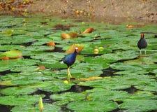 Purple gallinule walks on fireflag leaf Stock Photography