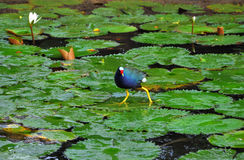 Purple gallinule walks on fireflag leaf Stock Photos