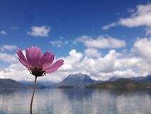 Purple Galsang flower lake under blue sky stock photos