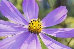 Purple garden flower against green background. Close-up of purple garden flower against green background Stock Image