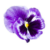 Purple garden flower on a white background Stock Images