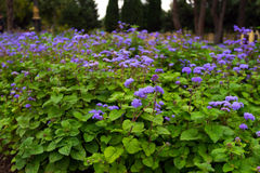 Purple garden flowers. Ageratum houstonianum. Purple flowers in garden Royalty Free Stock Image