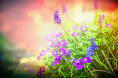 Purple garden flowers in back light on blurred nature background, close up Royalty Free Stock Photos