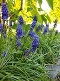 Purple garden flowers royalty free stock photo