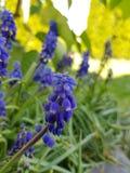 Purple garden flowers stock images