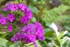 Purple garden Flox inflorescence closeup Royalty Free Stock Image