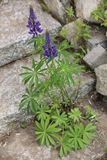 Purple Garden Lupin Royalty Free Stock Photos