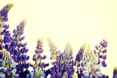 Purple garden lupine. Stock Photo