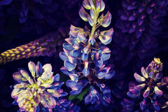 Purple garden lupine. Stock Photography