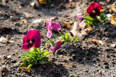 Purple garden pansy planted in rows stock photo