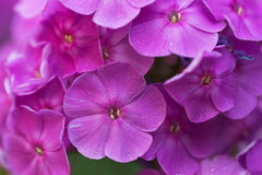 Purple garden phlox Royalty Free Stock Images