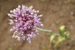 Purple garlic flower Stock Images