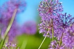 Purple garlic flowers stock image