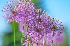 Purple garlic flowers royalty free stock photo