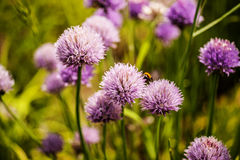 Purple garlics. Purple flowers of garlic in the garden Royalty Free Stock Image
