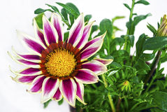 Purple gazania flower stock photo