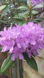 Purple Geranium Stock Image