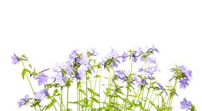 Small Geranium Flowers Floral Border. Purple geranium or bloody cranesbill flowers isolated on white background with green leaves for banner royalty free stock photos