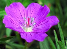 Purple Geranium Flower. Vibrant bright purple geranium flower stock photos
