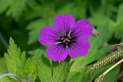 Purple Geranium. Flower, blurred green background royalty free stock images